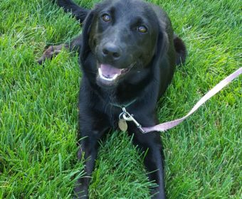 Laney - Central Indiana Lab Rescue & Adoption